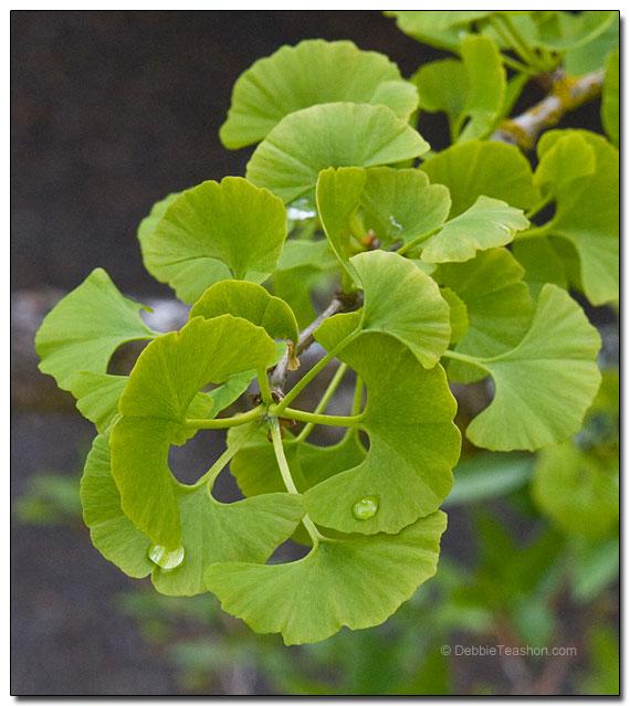 Ginkgo biloba leaves