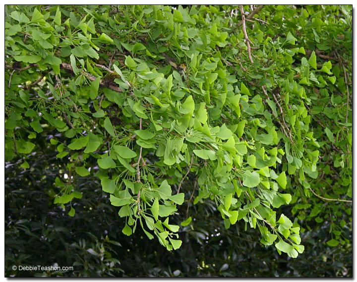 Ginkgo biloba branches