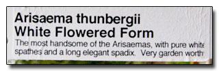 Arisaema thunbergii var urashima f alba