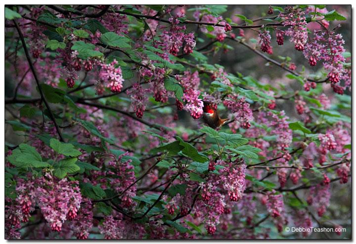 Hummingbird and Ribes sanguineum 'Claremont'
