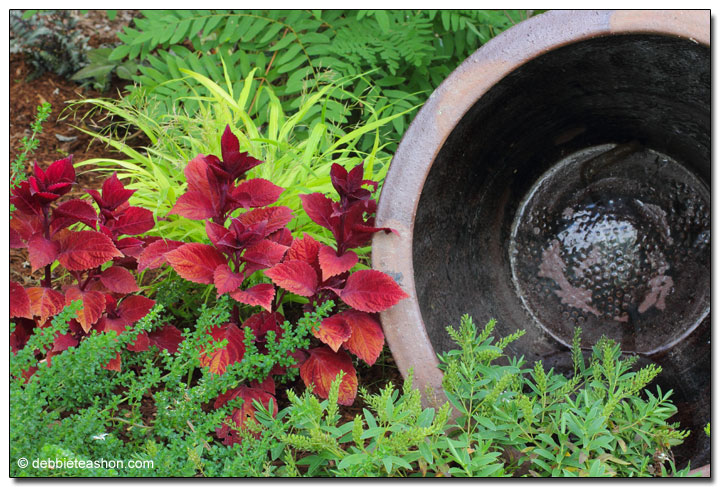 Hakonechloa 'All Gold' and Coleus 'Big Red Judy'