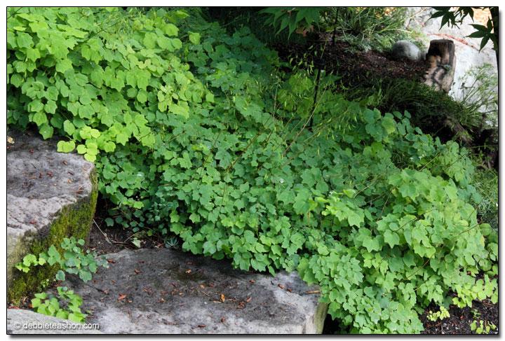 Vancouveria hexandra