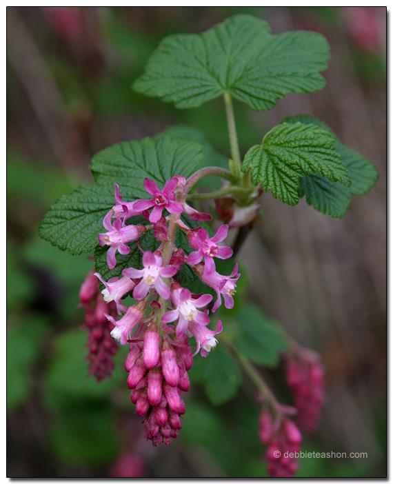 Ribes sanguineum 'Claremont'
