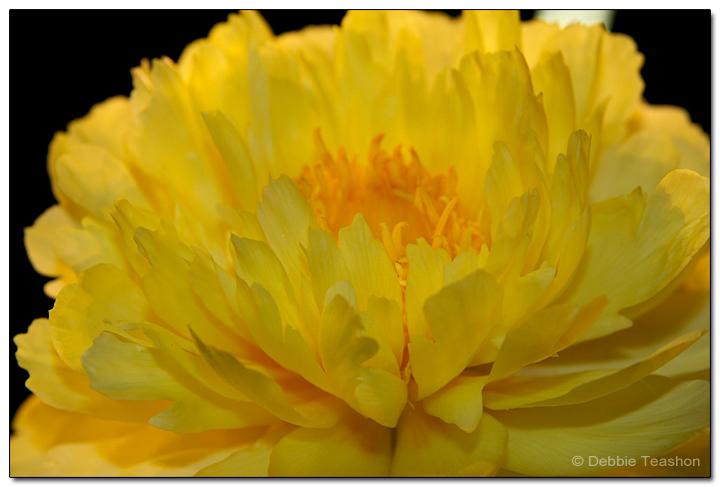 Paeonia 'Yellow Doodle Dandy'