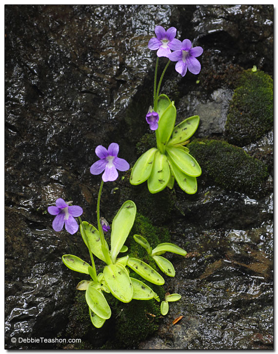 Butterwort (Pinguicula vulgaris)