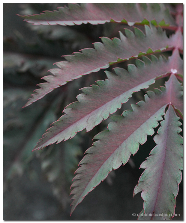 Melianthus major 'Purple Haze'