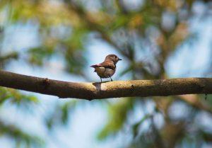 goa-small-bird
