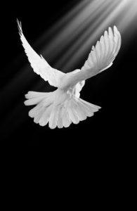 white-dove-in-black-and-white