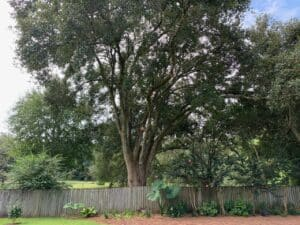 New Leaf Arboriculture - Pensacola - 2019 - After Crown Raising 04