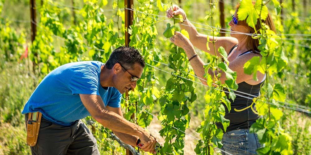 Vineyard-11-picking