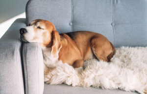 family dog sleeping on the couch