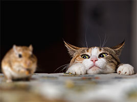 Cat staring at a home mouse - Blue Beetle Pest Control