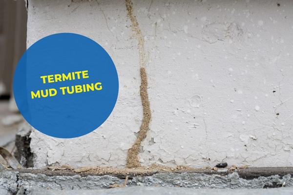 Termite mud tubing pest control