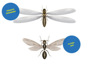 Termite swarmer & Flying ant illustration