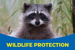 Raccoon wildlife services - Blue Beetle Pest Control