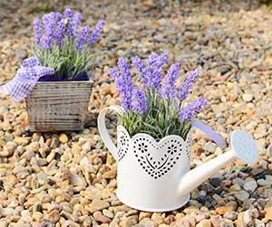 Photo of Lavender plant - Blue Beetle Pest Control
