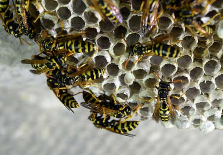 Close up of a wasp nest - Blue Beetle Pest