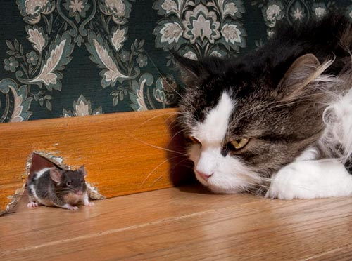 A cat chasing a house mouse - Blue Beetle Pest Control