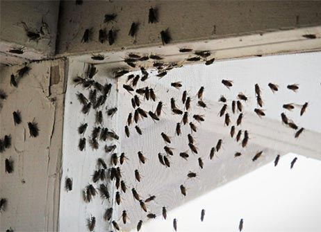 photo of fruit flies on a window - Blue Beetle Pest