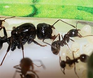 what happens when an ant queen dies - Blue Beetle Pest Control