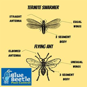 Comparison chart between a termite swarmer and a flying ant