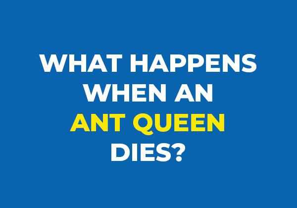 What happens when an ant queen dies