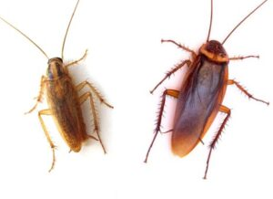 German cockroach (left) and American cockroach (right)