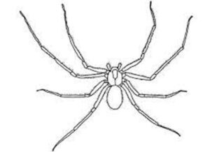 black and white drawing of a brown recluse