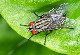 photo of adult housefly on a leaf