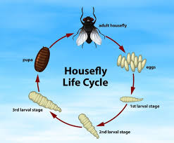 infographic showing the lifecycle of a housefly