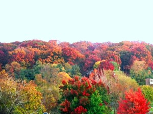 Fall leaves of the Blue Ridge Mountains of the Shenandoah Valley.