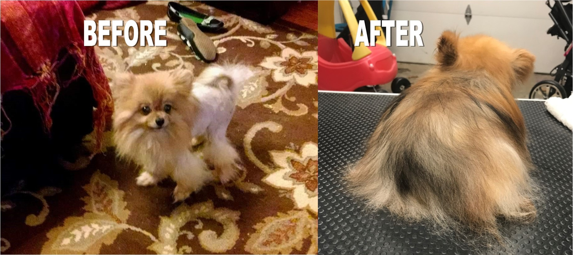 Grooming-By-Tanya-Dog-Pomeranian-hairloss-hair-regrow-Springfield-MO-min