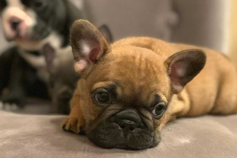 Caring-for-your-new-french-bulldog