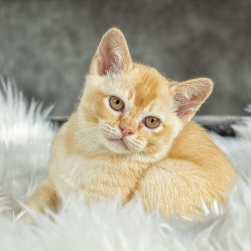 Gallery - Burmese Kitten (Red) 3