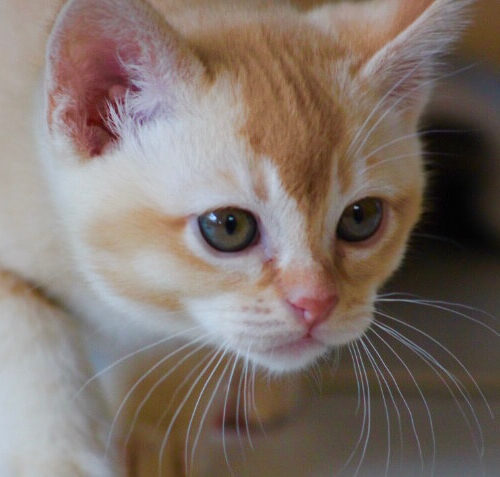 Gallery - Burmese Kitten (Red) 4