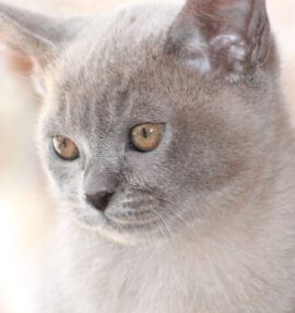 Our Girl - Firefly Sahalie (Blue Burmese)
