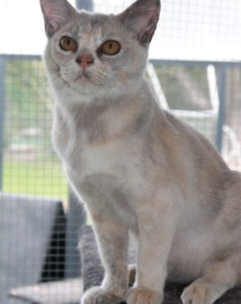 Our Girl - Sharni Mist 1 (Blue Tortoiseshell Burmese Cat)
