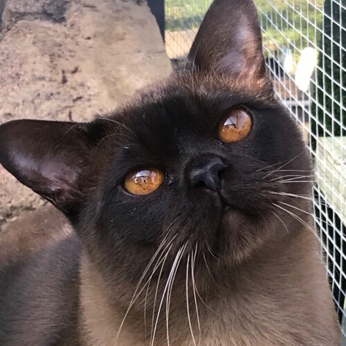 Show Events - Rewrite the Stars 2 (Brown Burmese)