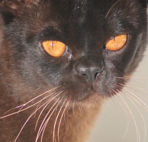 Show Events - Rewrite the Stars 3 (Brown Burmese)
