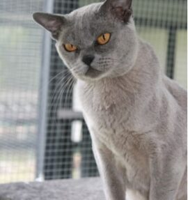 Our Girl - Ramaal Raise Your Glass (Blue Burmese)