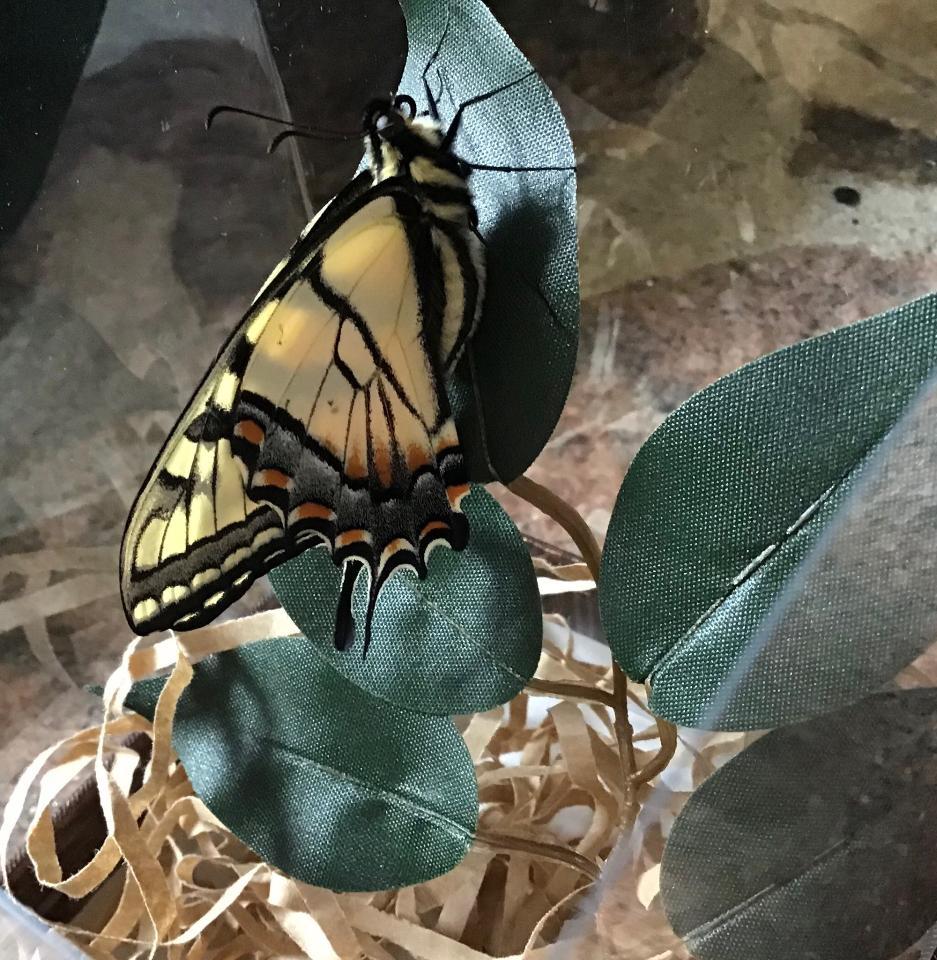 Tiger Swallowtail Pupa