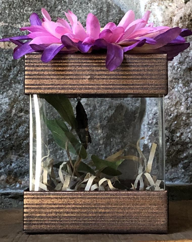 Giant Swallowtail chrysalis