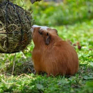 Small Animal Hay