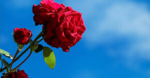 A photo of red roses against a blue sky.