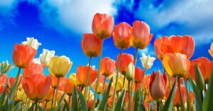 A photo of orange and yellow tulips against a blue sky.