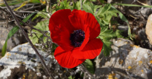A photo of a red windflower.