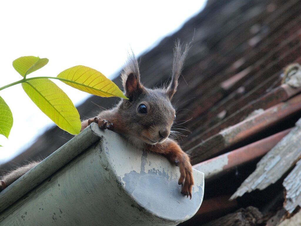 Squirrel hanging outside of a gutter
