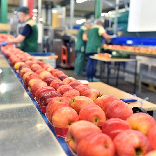Apples on a Conveyor