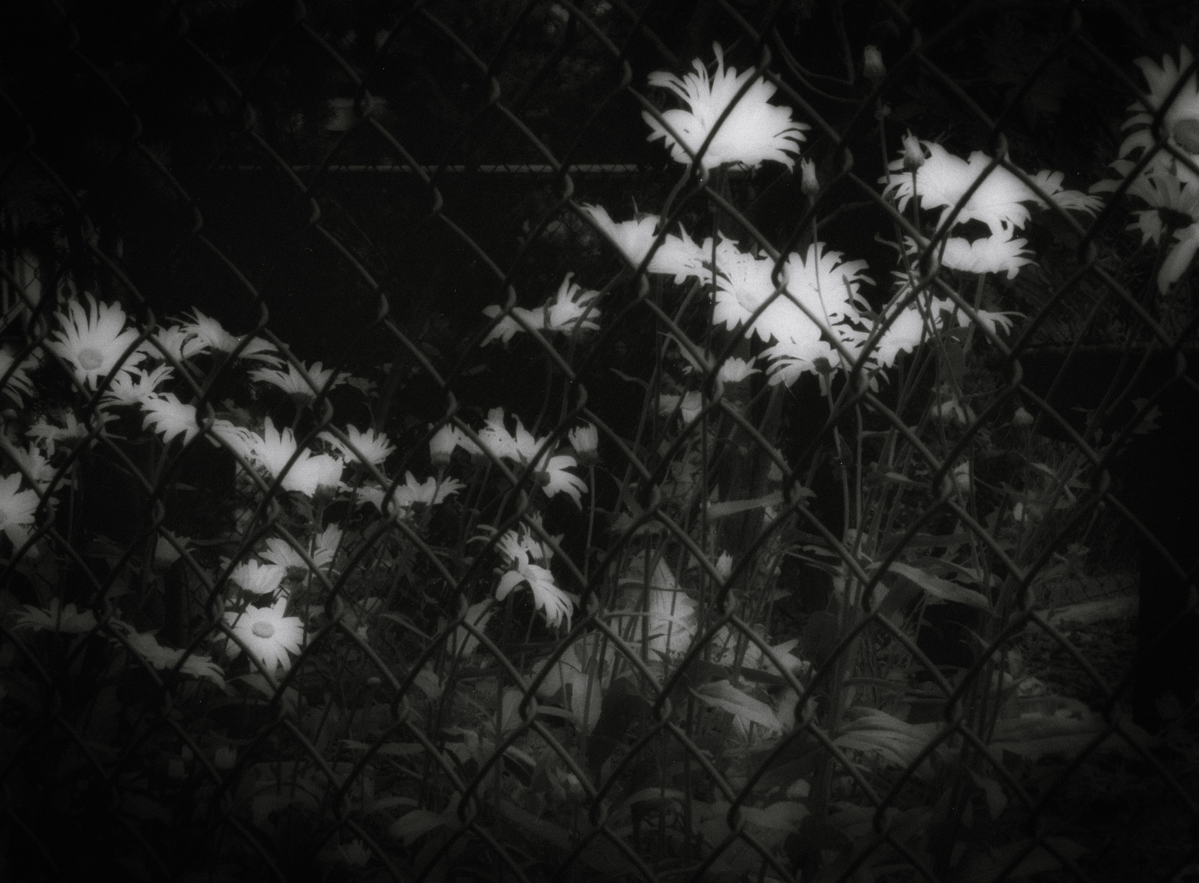 Flowers in fence