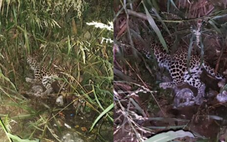 Pregnant Leopardess killed